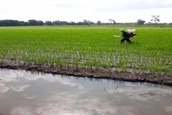 Dùng máy sạ lúa để phun phân bón