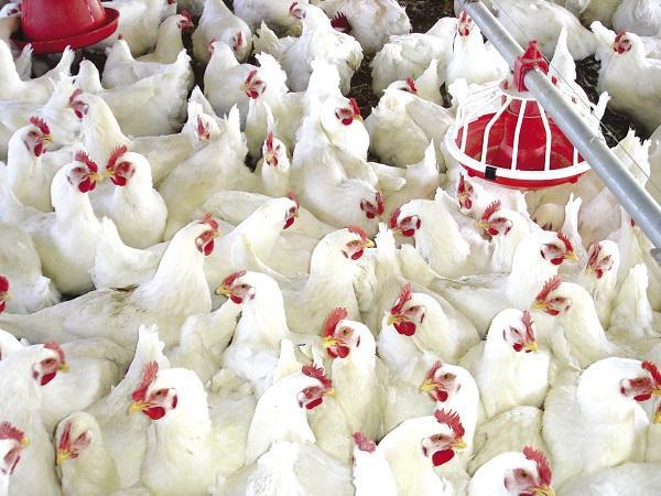 giá gà trắng tăng mạnh